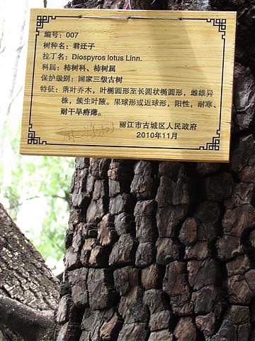025_麻將樹.JPG