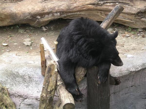 027_台灣黑熊.JPG