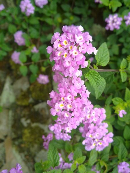 可愛的紫色小花