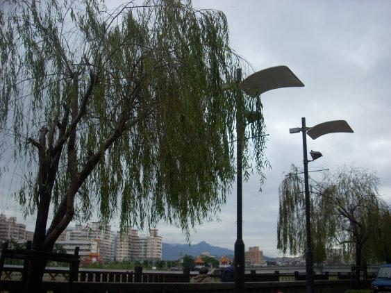 河岸的楊柳