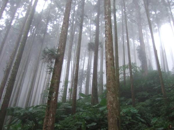 霧茫茫的高杉林