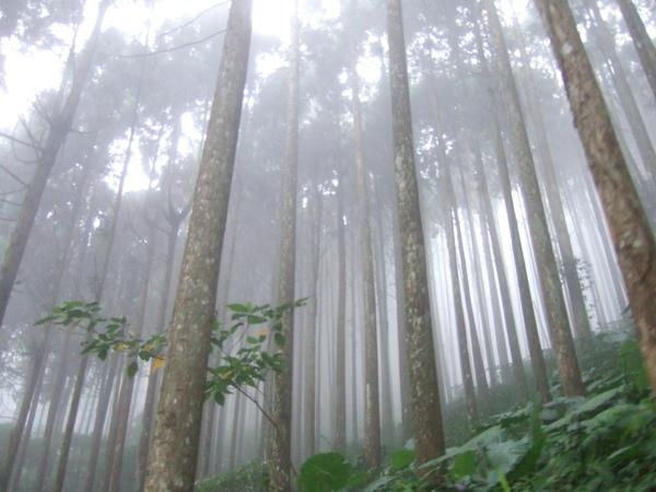 霧茫茫的高杉林2