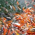搶糧的魚群門,根本就是瘋了 XD