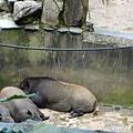 睡死的豬豬豬