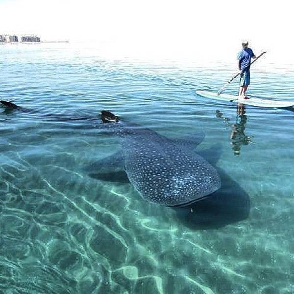 whaleshark-sup.jpg