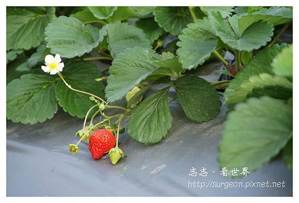 《台南》善化小新營草莓園 (4).JPG