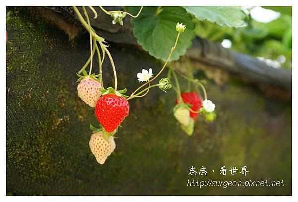 《台南》善化小新營草莓園 (5).JPG
