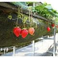 《台南》善化小新營草莓園 (6).JPG