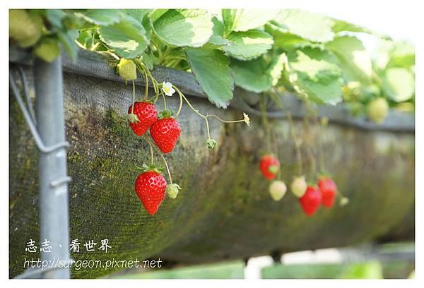 《台南》善化小新營草莓園 (7).JPG