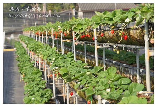 《台南》善化小新營草莓園 (9).JPG