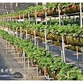 《台南》善化小新營草莓園 (10).JPG