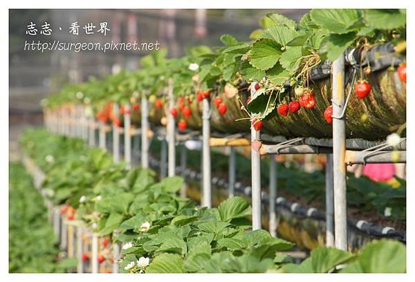 《台南》善化小新營草莓園 (11).JPG