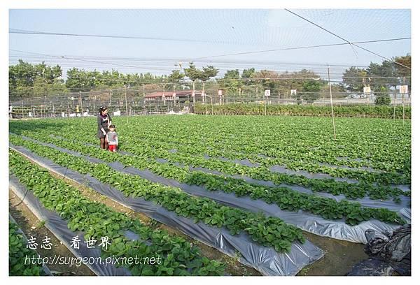 《台南》善化小新營草莓園 (16).JPG