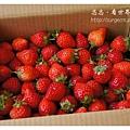 《台南》善化小新營草莓園 (19).JPG