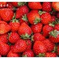 《台南》善化小新營草莓園 (20).JPG