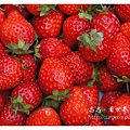 《台南》善化小新營草莓園 (21).JPG