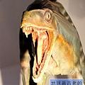 《台北》最古老的恐龍展 (32)