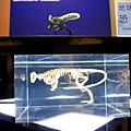 《台北》最古老的恐龍展 (34)