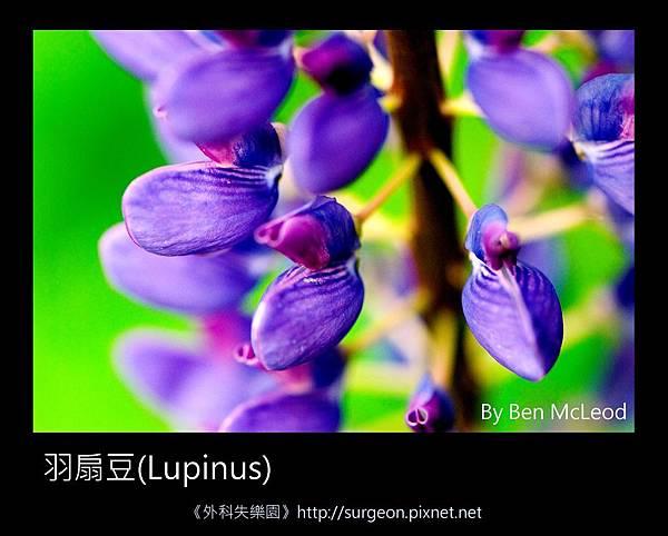 羽扇豆(Lupinus)-02