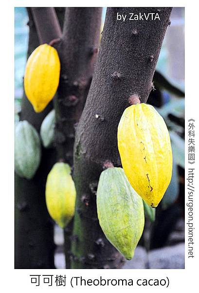 可可樹 (Theobroma cacao)
