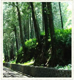阿里山五奇之四:森林alishan17.jpg