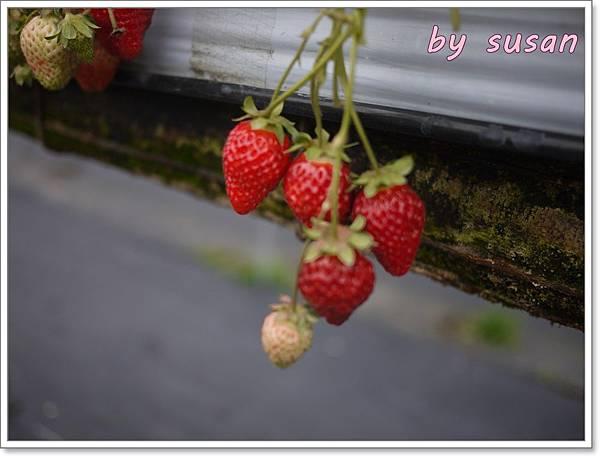 採草莓P1330803.JPG