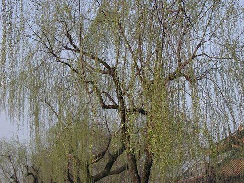 020309_西湖16柳樹新綠