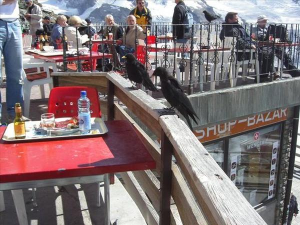 110_把人類餐廳當成7-11的黑鳥