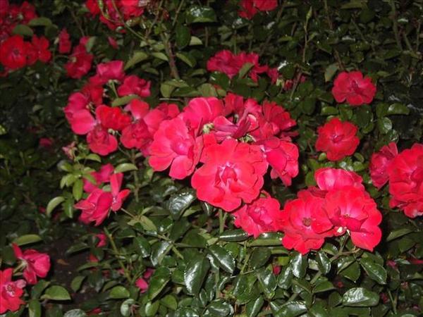 191_茵特拉根馬路旁的花圃