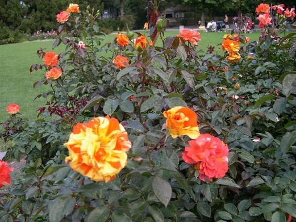 120_玫瑰