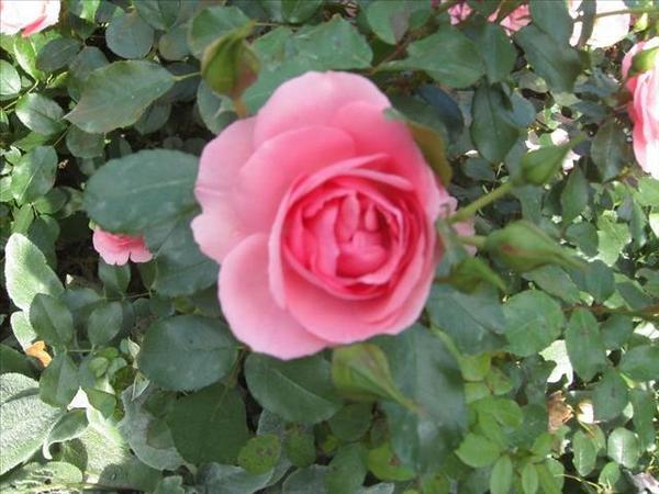 121_玫瑰