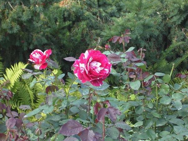 122_玫瑰