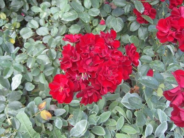 125_玫瑰