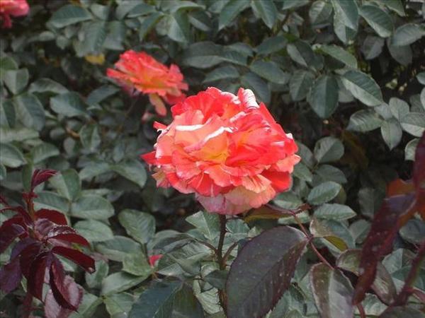 126_玫瑰