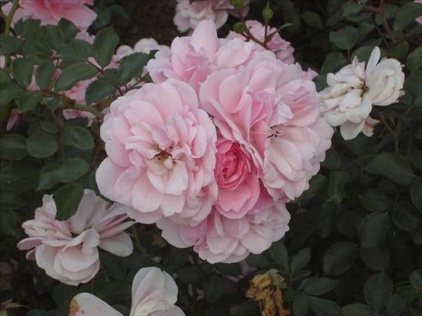 127_玫瑰