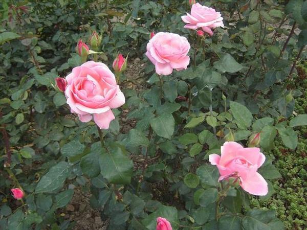 128_玫瑰