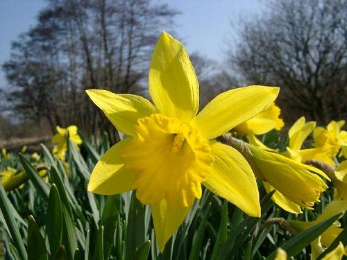 daffodil2529.jpg