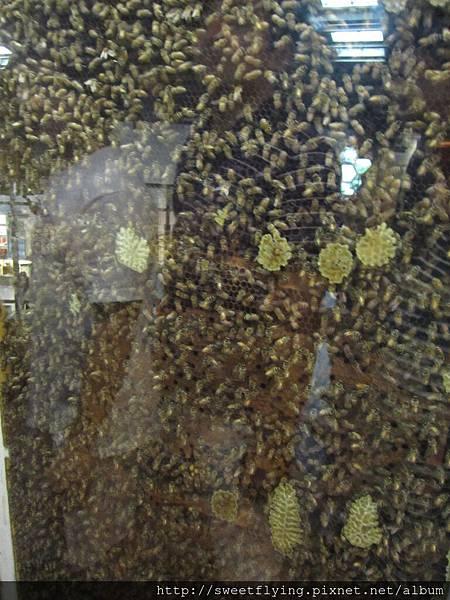 有點噁心的蜜蜂建蠟
