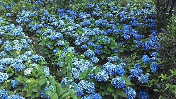 竹子湖-繡球花