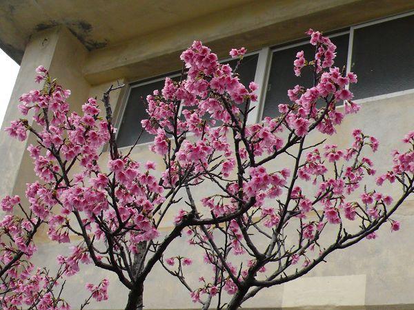 美麗的櫻花這裡也有