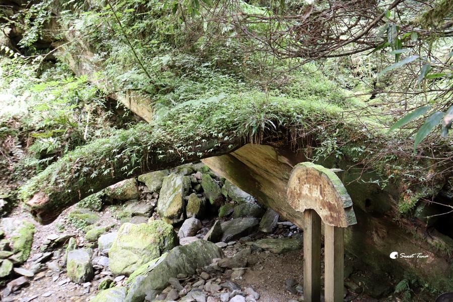 拉拉山巨木群