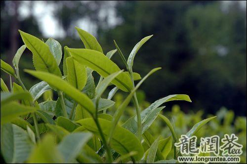 龍潤茶集團 雙文堂普洱茶 製茶理念