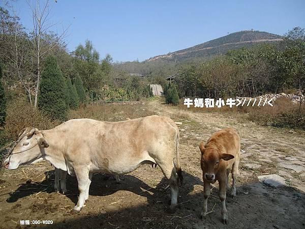 DSC00848牛媽和小牛.jpg