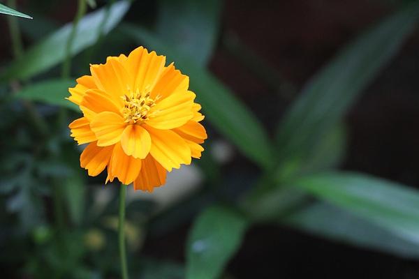 昨天開的黃波斯菊。