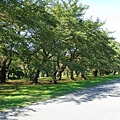 小石川植物園裡櫻花樹