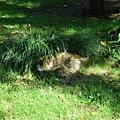 躲在草叢裡的貓