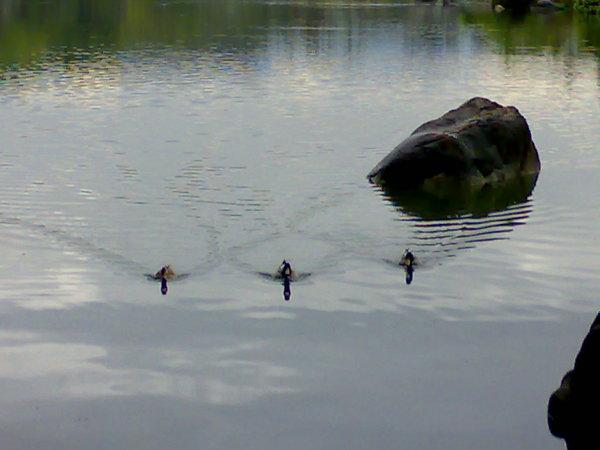 朝著我們直直游來的三隻小豬...不,小鴨
