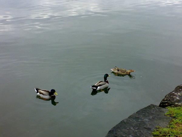 三隻小鴨變換隊形