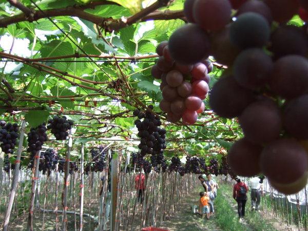 結實纍纍的葡萄園1