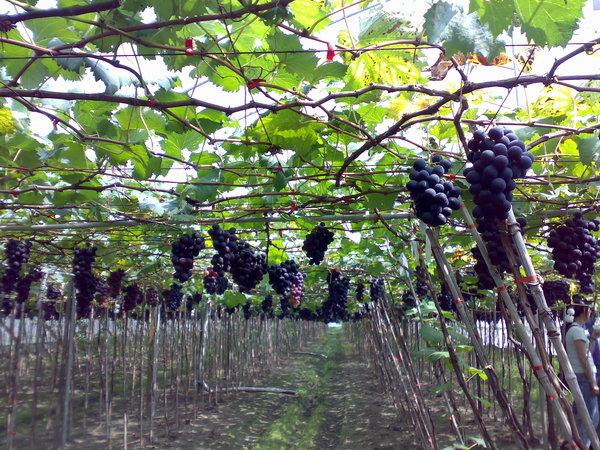結實纍纍的葡萄園2